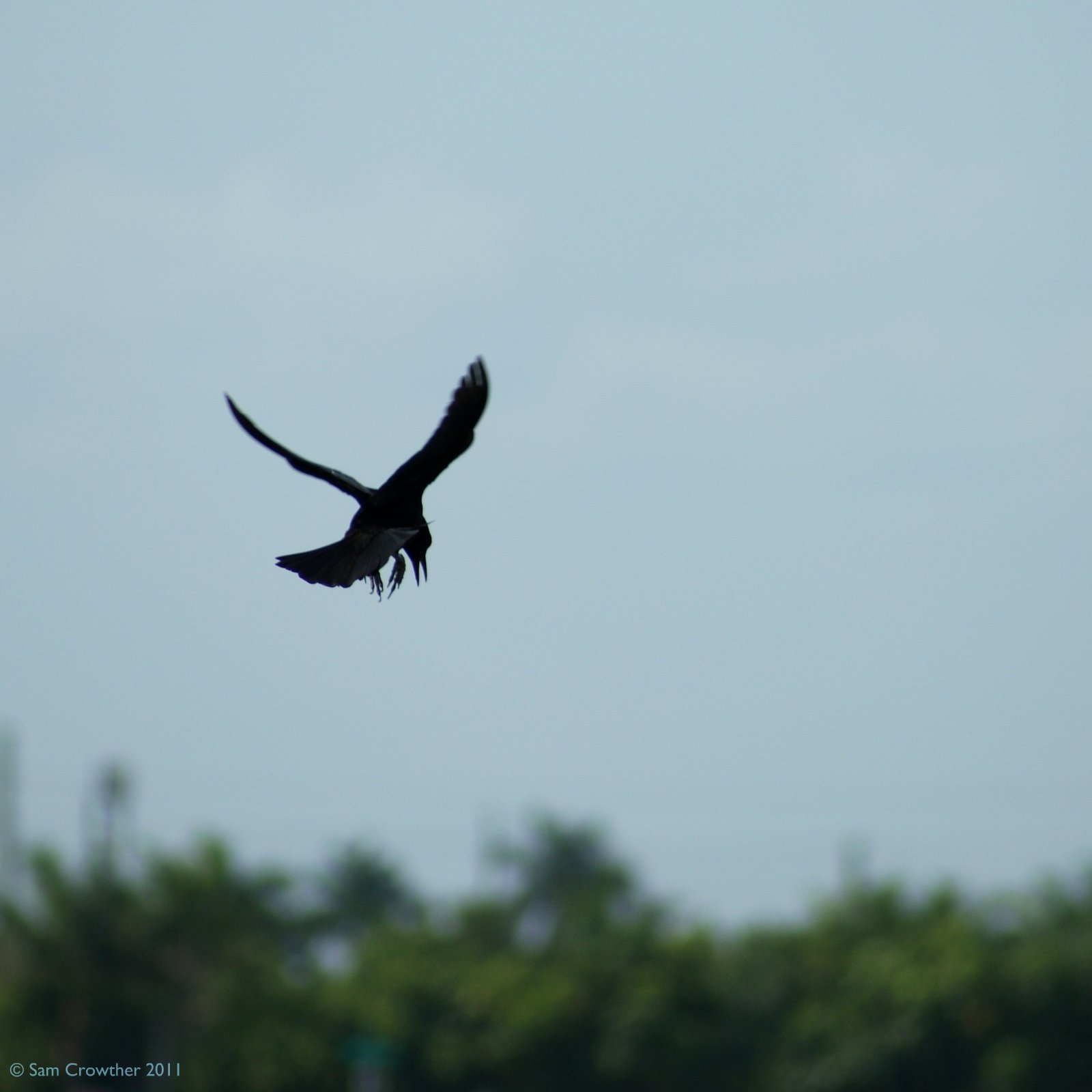 Grackle Flying  Grackle Flying...