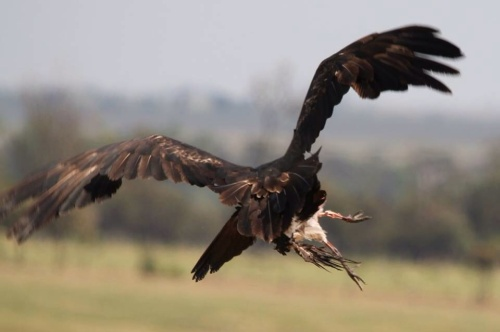 Wedge-tailed Eagle by Carrie Byriel