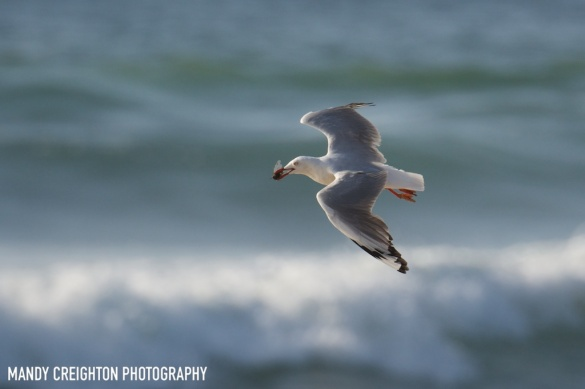 Silver Gull by Mandy Creighton